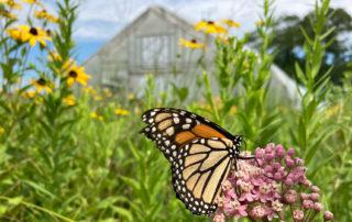 monarch_butterfly_in_front_of_greenhouse